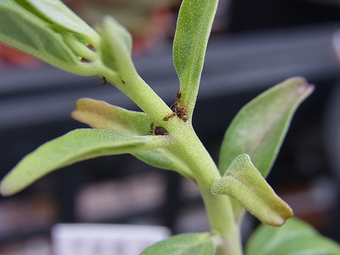Pterodiscus speciosus