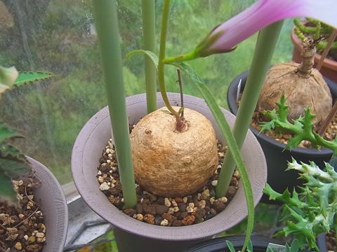 Ipomoea welwitschii