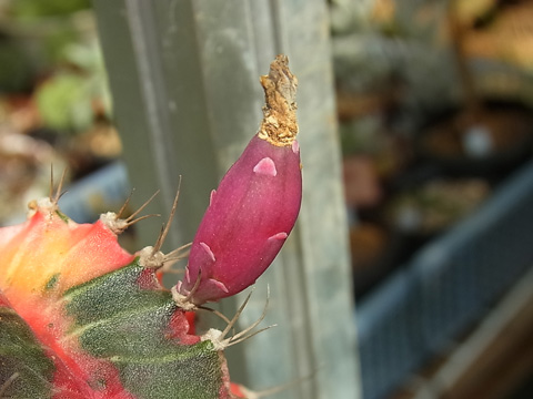 Gymnocalycium friedrichii 'Hibotan Nishiki'