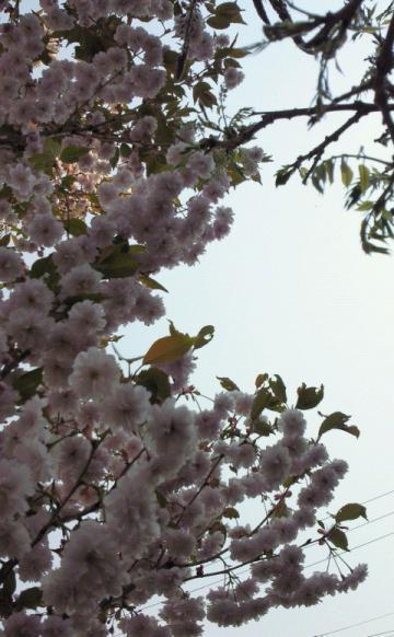 うちの桜 ①