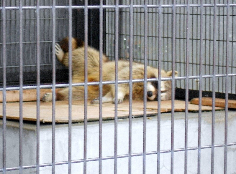 アライグマ寝る