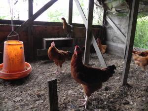 北海地鶏300