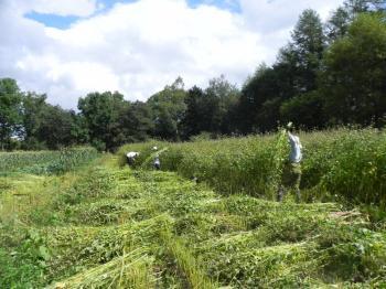 ソバ収穫350