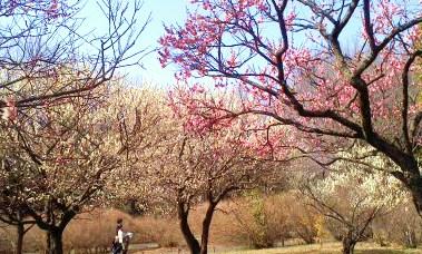国営昭和記念公園 梅園