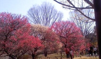 国営昭和記念公園 梅園 2013