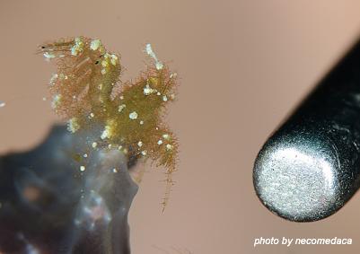 Hairly shrimp1(ヘアリーシュリンプ1)