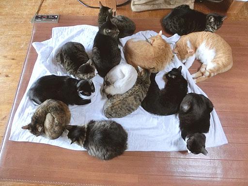 猫絨毯にダイブした人、やってこ~~い♪
