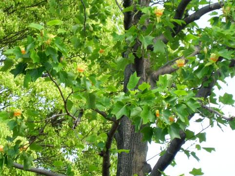 ゆりの木の花