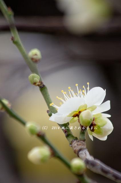 2014年2月1日 大阪城梅林 月の桂4