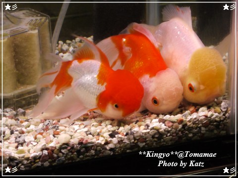 20120923 金魚 (1)
