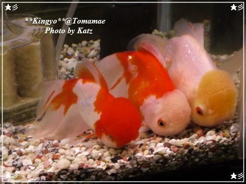 20120923 金魚 (2)