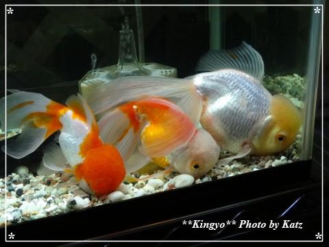 20130203金魚