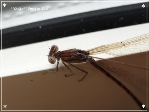 0221 越冬トンボ (13)
