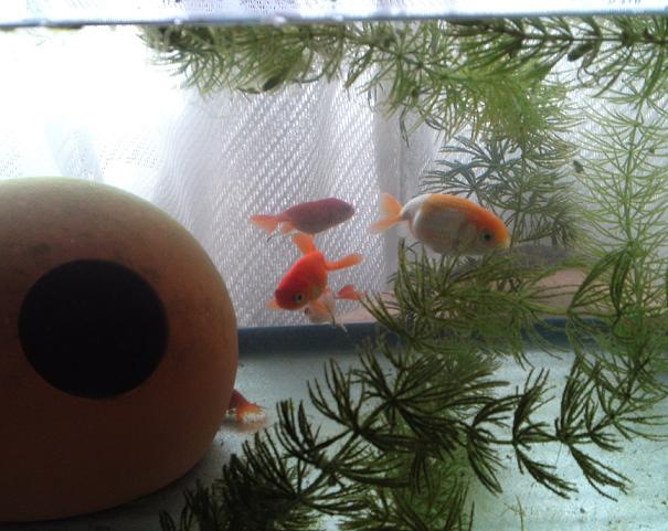 金魚も引っ越し