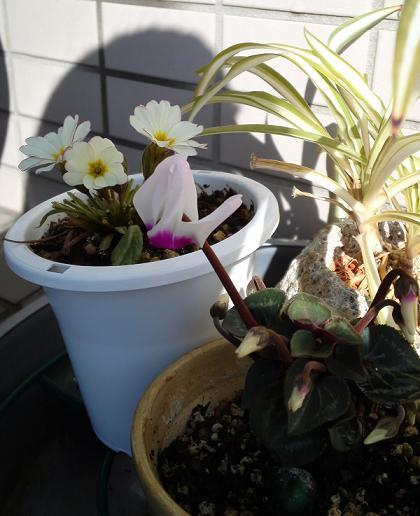 種シクラメン開花