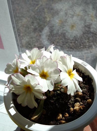 プリムラ・二番花
