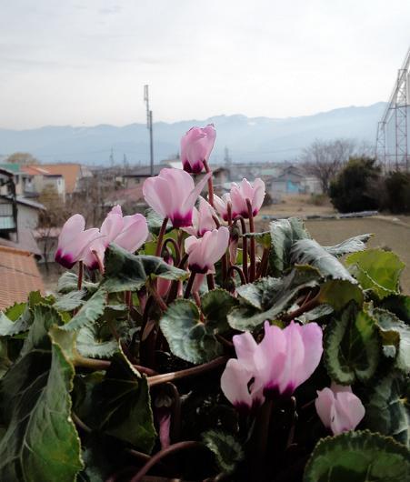 H25シクラメン開花 (2)
