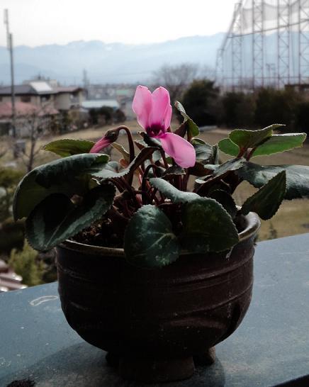 H25シクラメン開花 (3)