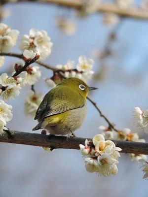 鳥メジロ③130226府中市郷土の森 (5)S済