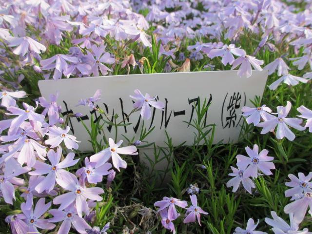 芝桜の小道(昼)8