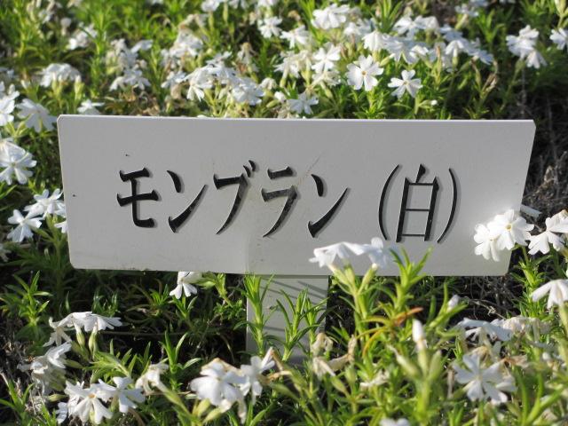 芝桜の小道(昼)18