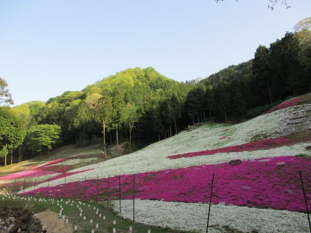 芝桜の小道(昼)33