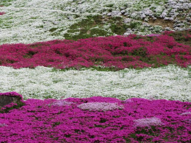 芝桜の小道(昼)34
