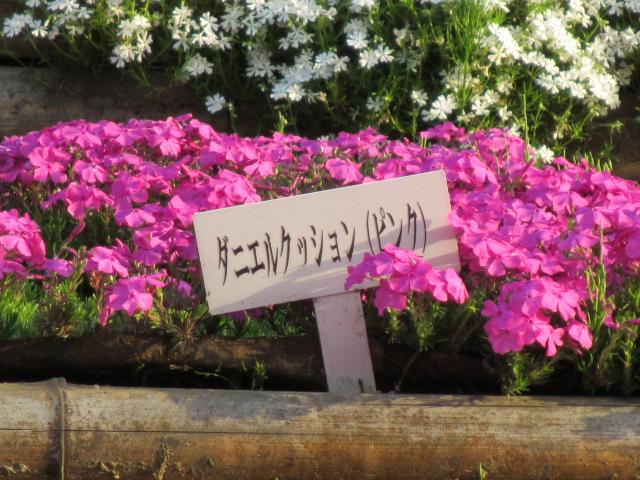 芝桜の小道(昼)48