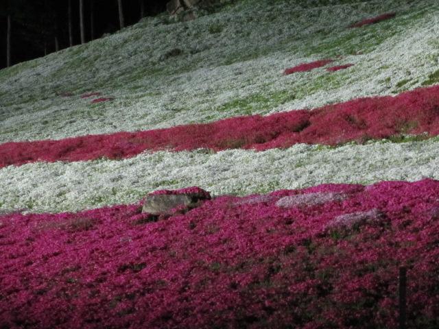 芝桜の小道(夜)21