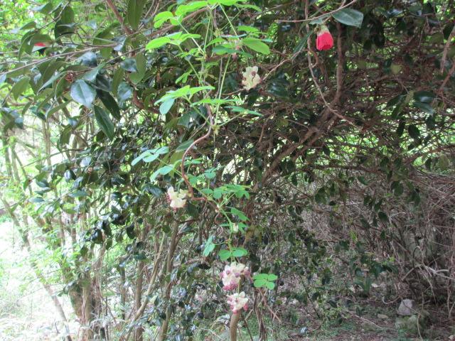 六甲山2012春(その2 風吹岩 ~最高峰編) 本庄橋跡・七曲り分岐点まで8