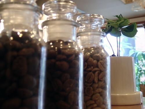 コーヒーの苗1_convert_20140127213924