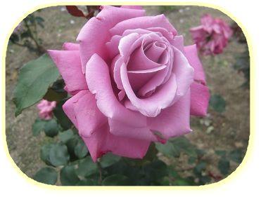529 バラの花 ブログ用