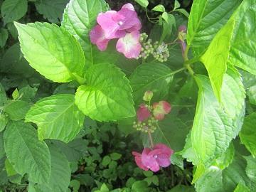 626 紫陽花第2団 ブログ