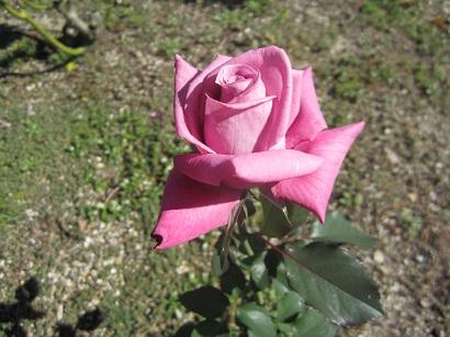 1019 バラの花 ブログ