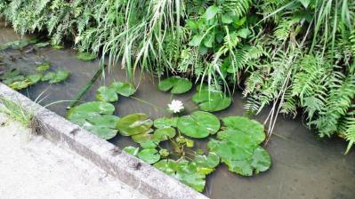 ハスの花=白1