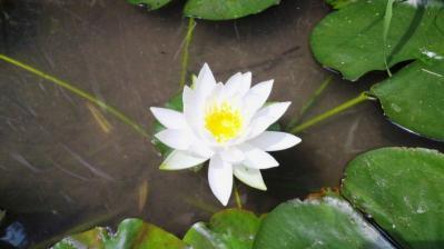 ハスの花=白3