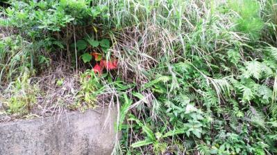 ハゼの木紅葉1