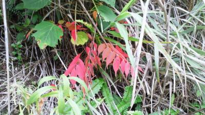 ハゼの木紅葉2