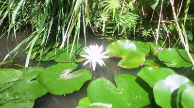 輝く白いハス2