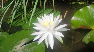 輝く白いハス3