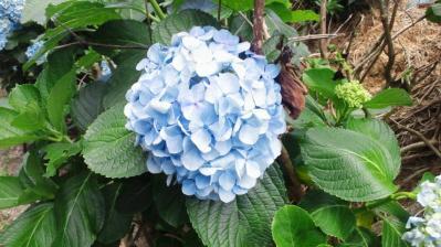 梅雨明けのアジサイの花4