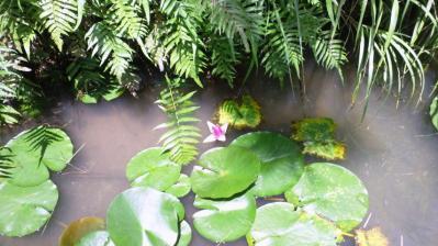 ピンクのハスの花1