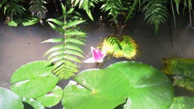 ピンクのハスの花2