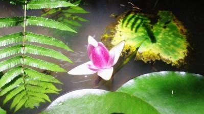 ピンクのハスの花3
