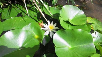 白いハスの花ひっそりと2