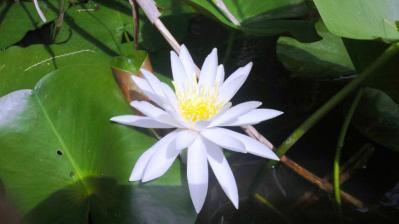 白いハスの花ひっそりと3