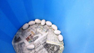 ハブの抱卵2