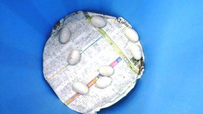 ハブの抱卵4