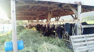 食事中の牛2