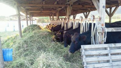 食事中の牛3